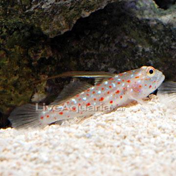 ... Aquarium Fish for Marine Reef Aquariums: Tangaroa Goby Shrimp Gobies